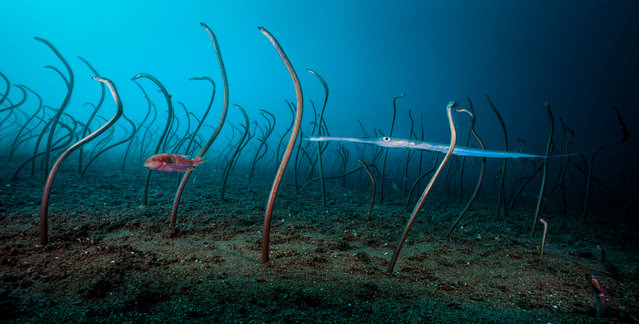 Under water winner: The Garden of Eels by David Doubilet, US. The colony of garden eels was one of the largest Doubilet had ever seen, at least two-thirds the size of a football field, stretching down a steep sandy slope off Dauin, in the Philippines – a cornerstone of the coral triangle. (Photo by David Doubilet/2019 Wildlife Photographer of the Year)