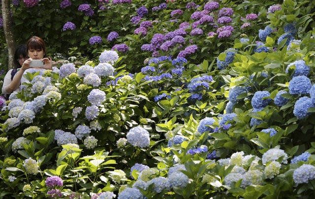 A visitor takes a picture of hydrangea flowers at Hase Temple in Kamakura, west of Tokyo, Saturday, June 11, 2016. Colorful hydrangea is now in full bloom,  attracting visitors during the lull of the rainy season. (Photo by Koji Sasahara/AP Photo)