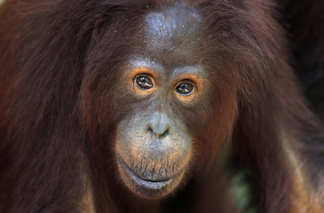 A young male orangutan at Camp Leakey in Tanjung Puting National Park, in Kalimantan (Indonesian Borneo), Indonesia, September 3, 2013. (Photo by Barbara Walton/EPA)