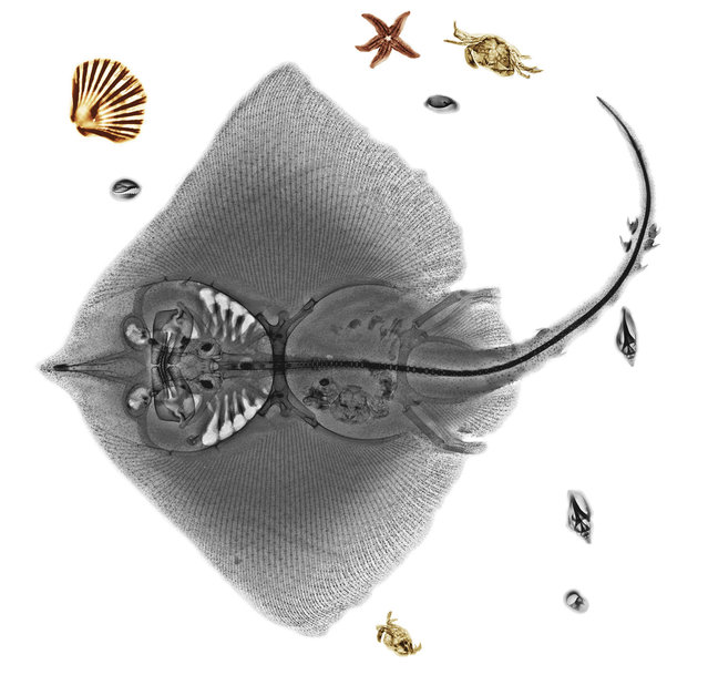 Ray fish (order Batoidei), coloured X-ray. A physicist has used X-ray to create an extraordinary collection of artwork. Arie van't Riets pictures reveal birds, fish, monkeys and flowers in an incredible new light. The 66-year-old, from Bathmen in the Netherlands, began X-raying flowers as a means to teach radiographers and physicians how the machine worked. But after adding a bit of colour to the pictures, the retired medical physicist realised the potential for an exciting new collection of art. (Photo by Arie van't Riet/Barcroft Media)