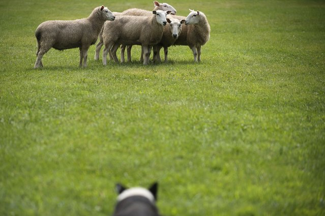 Sheep were herded by a border collie, foreground, at the Irish Fair in St. Paul, Minn. on Sunday August 9, 2015. (Photo by Rachel Woolf/The Star Tribune)