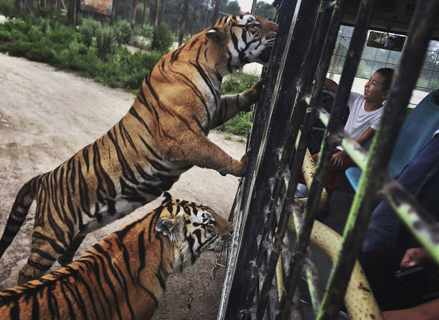 A Chinese tourist feeds Siberian tigers from a tourist  bus at the Heilongjiang Siberian Tiger Park on August 16, 2017 in Harbin, northern China. (Photo by Kevin Frayer/Getty Images)
