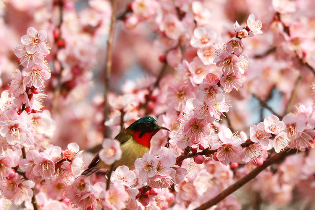 A red-throated hummingbird standing on a plum tree blooming in Yichang city in central China's Hubei province. (Photo by Imaginechina/SIPA USA/PA Images)