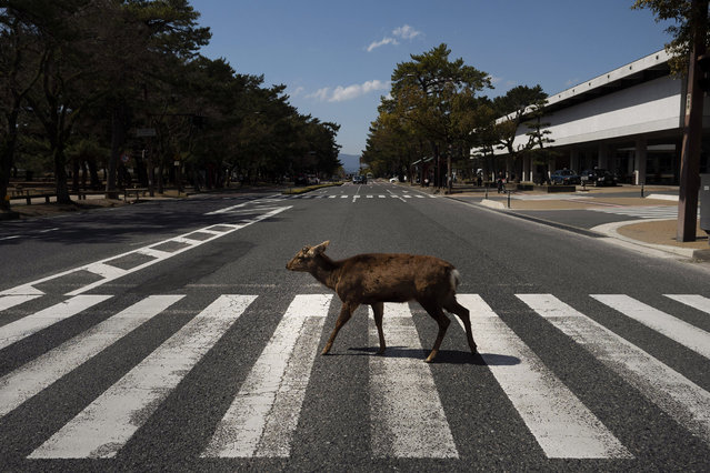 A deer walks across a pedestrian crossing in Nara, Japan, Thursday, March 19, 2020. More than 1,000 deer roam free in the ancient capital city of Japan. Despite the town's tourism decline, these wild animals are doing just fine without treats from tourists, according to a deer protection group. (Photo by Jae C. Hong/AP Photo)