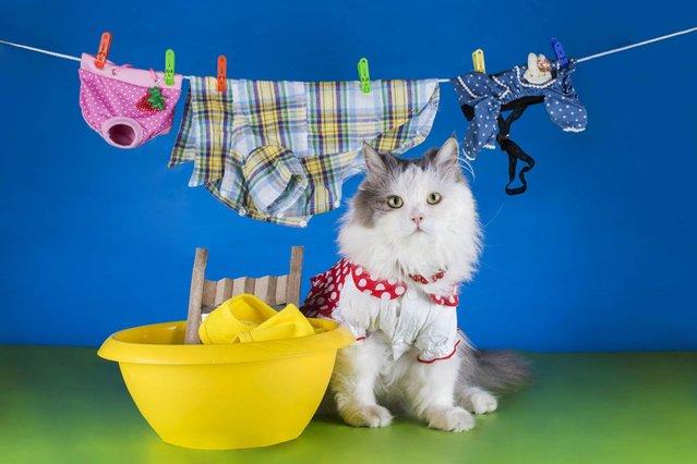 Even cats have chores. (Photo by Svetlana Valyiskaya/Mercury)