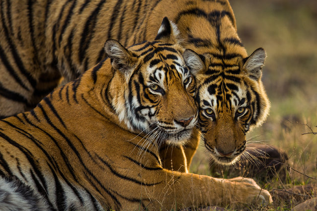 A pair of young Bengal tigers in India's Ranthambore national park. Less than 4,000 tigers are left in the wild, a consequence in part due to poaching to supply consumer demand for their body parts, mostly in China and southeast Asia. (Photo by Sudhir Shivaram/Photographers Against Wildlife Crime/Wildscreen/The Guardian)