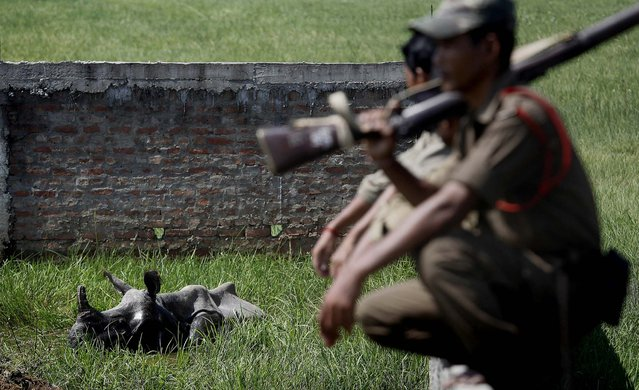 The rhino was finally located on Sunday in a field where it had taken shelter. Forest officials guarded the female one horned rhinoceros until it could be tranquilized and transported back to the Pobitora Wildlife Sanctuary. (Photo by Anupam Nath/Associated Press)