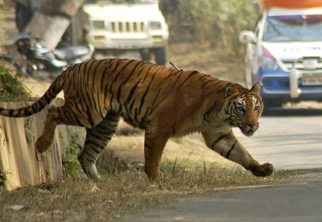 One of the two adult tigers, with a tranquilizer dart on its body, walks inside the Assam State Zoological cum Botanical Garden in Guwahati January 30, 2010. (Photo by Utpal Baruah/Reuters)