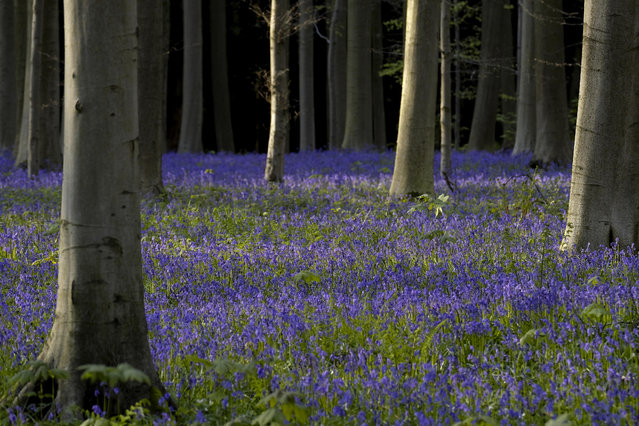 This picture taken on April 15, 2017, shows bluebells in the Hallerbos in Halle, Belgium. (Photo by Nicolas Maeterlinck/AFP Photo/Belga)