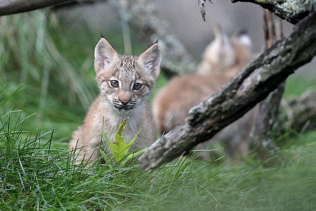 A lynx kitten plays in its enclosure on the first day the kittens were outside of their enclosed den and available for the public to see, Thursday, October 1, 2015, at the Erie Zoo, in Erie, Pa. Three kittens were born June 30, 2015 to mother Martina and father Russell, who will be introduced to the kittens in about a month, according to Scott Mitchell, executive director of the Erie Zoo.  (Photo by Christopher Millette/Erie Times-News via AP Photo)