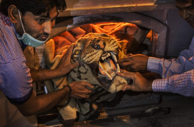 Indian authorities hold a tiger skin as they set fire to a stockpile of illegal wildlife parts at the Delhi Zoo in New Delhi, India, Sunday, November 2, 2014. A stockpile of tiger skins, elephant tusks, rhino horns and other illegal animal parts were burned Sunday in an effort to discourage wildlife smuggling in South Asia. (Photo by Tsering Topgyal/AP Photo)
