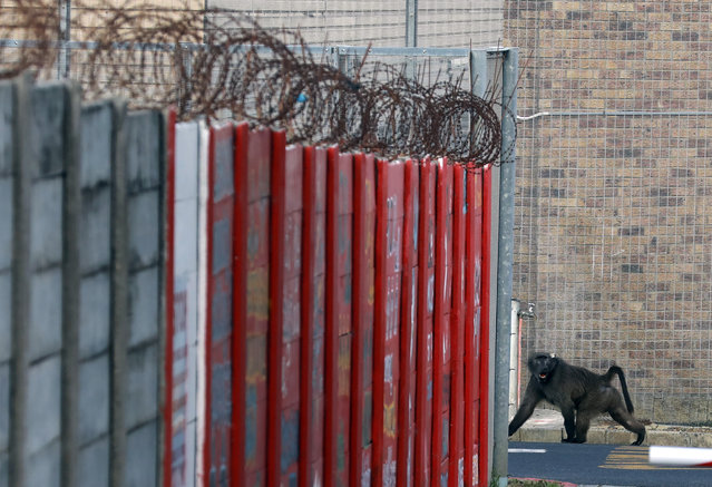 A baboon, named Kataza by locals, enters the grounds of Pollsmoor Maximum Security Prison in Tokai, Cape Town, South Africa, Thursday, September 17, 2020. (Photo by Nardus Engelbrecht/AP Photo)