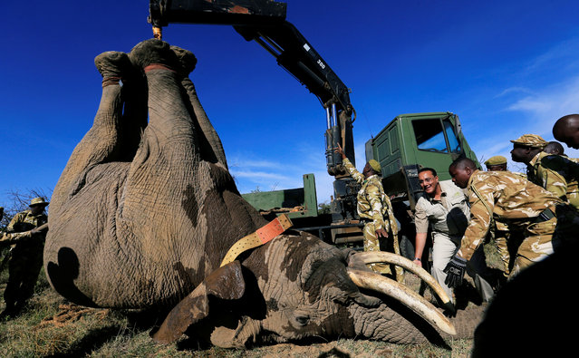 Kenya's Cabinet Secretary for Tourism Nabjib Balala (C) and Kenya Wildlife Service (KWS) rangers load a tranquilized elephant on to a truck during a translocation exercise to Ithumba Camp in Tsavo East National Park, in Solio Ranch in Nyeri County, Kenya February 21, 2018. Kenya has several thousand elephants, who face threats such as ivory poachers and habitat loss, but they often raid crops and farms as they migrate between parks, angering villagers who rely on the produce to feed their families. (Photo by Thomas Mukoya/Reuters)