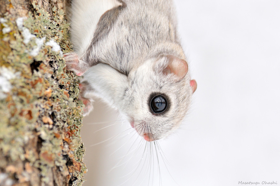 Siberian Flying Squirrels by Masatsugu Ohashi