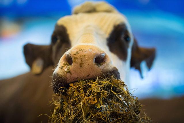 "An ""Abondance"" breed cow eats hay during the 55 th International Agriculture Fair (Salon de l' Agriculture) at the Porte de Versailles exhibition center on February 28, 2018 in Paris. The Paris International Agriculture Fair is held from February 24 to March 4, 2018. (Photo by Gerard Julien/AFP Photo)"