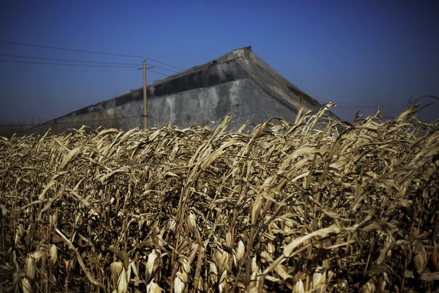 Coal gangue, also known as coal waste, is piled up next to a corn field at a coal mine of the state-owned Longmay Group on the outskirts of Jixi, in Heilongjiang province, China, October 23, 2015. (Photo by Jason Lee/Reuters)