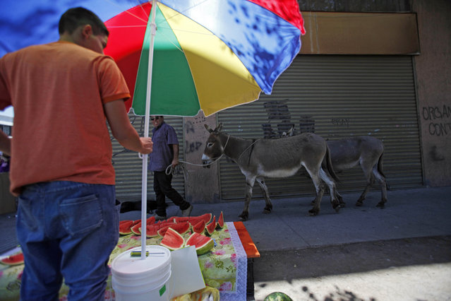 In this December 13, 2914, Ricardo Alegria walks his donkeys past a watermelon stand as he works to sell their fresh milk in Santiago, Chile. Ricardo Alegria said the milk is taken as a vitamin jolt for babies with gastric problems, and researchers at the University of Camerino in Italy have reported it can be a good substitute for children with allergies to cow's milk. But adults too often drink it. (Photo by Luis Hidalgo/AP Photo)