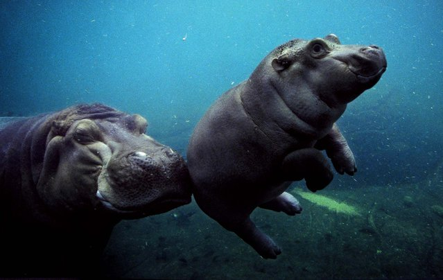 An African river hippo gives her female calf a little nudge as they swim inside a 150,000-gallon pool exhibit at the San Diego Zoo. (Photo by Ken Bohn/San Diego Zoo)