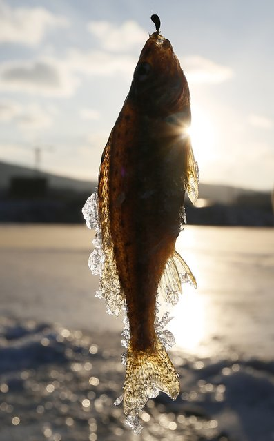 A ruffe is seen hanging on a fish hook after it was caught by a man on the frozen Abakan Bay of the Yenisei River in Russia's Siberian city of Krasnoyarsk January 11, 2015. (Photo by Ilya Naymushin/Reuters)