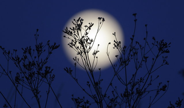 """A """"supermoon"""" rises behind roadside plants growing in Prattville, Ala., Saturday, June 22, 2013. The biggest and brightest full moon of the year graces the sky early Sunday as our celestial neighbor swings closer to Earth than usual. While the moon will appear 14 percent larger than normal, sky watchers won't be able to notice the difference with the naked eye. Still, astronomers say it's worth looking up and appreciating the cosmos. (Photo by Dave Martin/AP Photo)"""