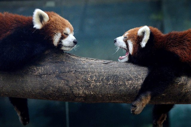 Red pandas (also known as a lesser panda) relax in their enclosure at the Beijing Zoo, on June 25, 2013. (Photo by Mark Ralston/AFP Photo)