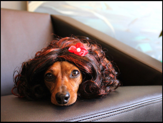 Curly Brunette wig. (Photo by Cushzilla/BNPS)