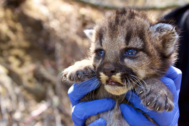 A mountain lion kitten which National Park Service researchers discovered in August 2018 in a remote area of the Santa Monica Mountains, California, U.S. is shown in this image released on September 4, 2018. (Photo by  Courtesy National Park Service/Handout via Reuters)