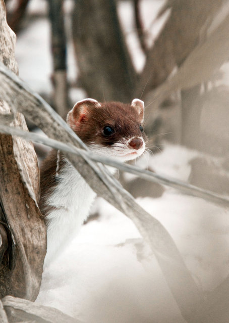 Elusive Stoat in winter. (Photo by Adam Tatlow/BNPS)