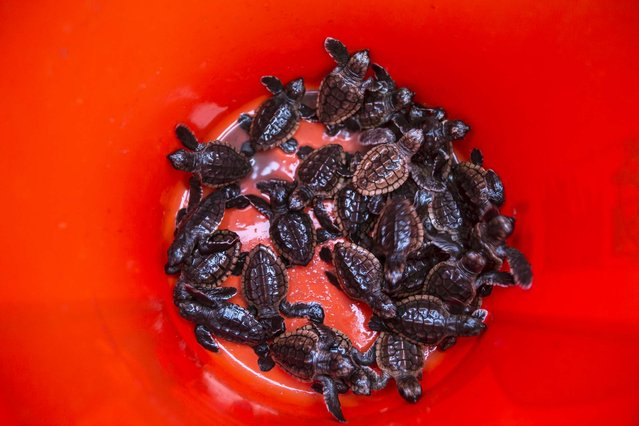 Loggerhead hatchlings from Gumbo Limbo Nature Center wait to be released from a boat and onto the sargassum to ride the gulf stream north. (Photo by Greg Lovett/The Palm Beach Post)