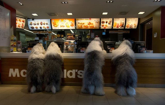 Sophie and Sarah are seen ordering at McDonald's during Sophie's doggie birthday party with their friends Jason and Ashley. (Photo by Cees Bol/Caters News Agency/Mercury Press)