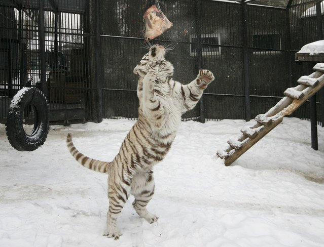 Khan, a 3-year-old male Bengali white tiger, participates in his weekly training session with a piece of meat inside an open-air cage at the Royev Ruchey Zoo in a surburb of Russia's Siberian city of Krasnoyarsk, February 27, 2013. Every Wednesday, a zookeeper will train Khan using meat suspended on a chain so that the tiger will not lose motor and mental skills associated with hunting, an official representative of the Zoo said. (Photo by Ilya Naymushin/Reuters)