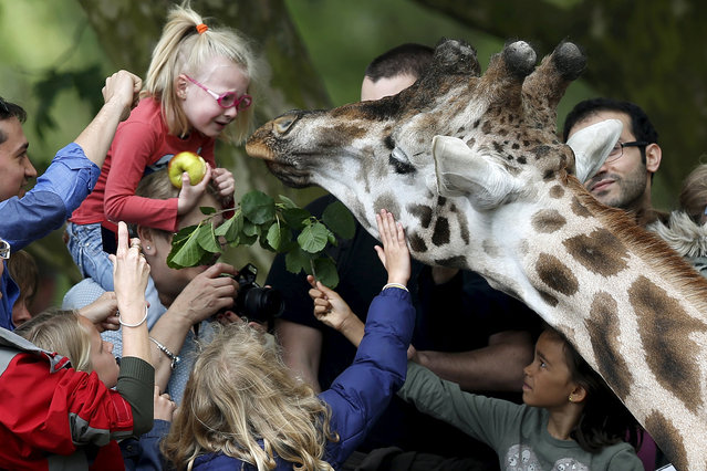 Children feed a giraffe at Pairi Daiza wildlife park, a zoo and botanical garden in Brugelette, Belgium, May 25, 2015. (Photo by Francois Lenoir/Reuters)