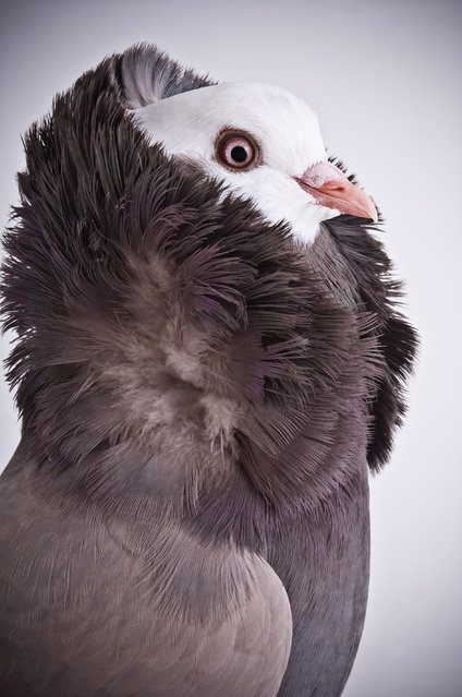 Old Dutch Capucine. Darwin's Pigeons series. (Photo by Photo by Richard Bailey/Caters News)