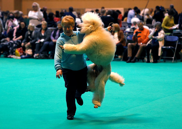 A Standard Poodle jumps up as it is shown during the second day of the Crufts Dog Show in Birmingham, Britain March 10, 2017. (Photo by Darren Staples/Reuters)
