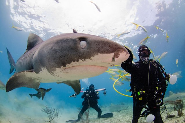 This is the fin-credible moment a cheeky shark photobombed a diver and flashed a toothy grin for the camera. (Photo by Caters News)