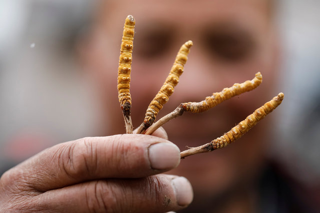 A cordyceps picker shows his cordyceps on a mountain in the Amne Machin range in China's western Qinghai province, June 8, 2019. (Photo by Aly Song/Reuters)