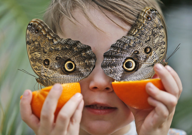 Five year old George holds an orange to feed the Owl butterflies at the Natural History Museum in London, Thursday, March 30, 2017. Hundreds of tropical butterflies were released to launch the Natural History Museum's Sensational Butterflies exhibition, starting for the public on March 31, 2017. (Photo by Frank Augstein/AP Photo)