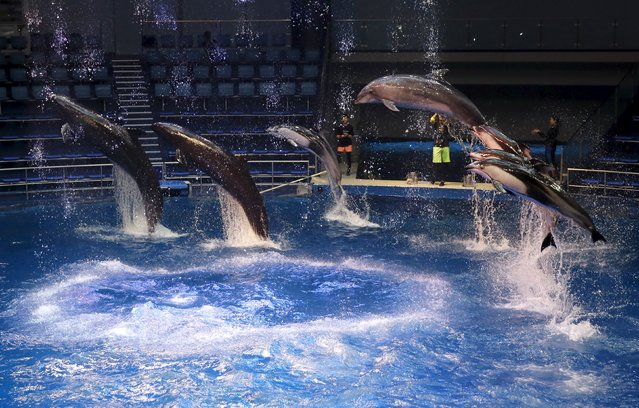 Dolphins jump out of the water during a media preview for the Epson Aqua Park Shinagawa aquarium's re-opening in Tokyo, July 6, 2015. (Photo by Toru Hanai/Reuters)