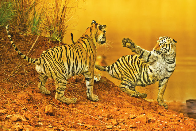 A beautiful picture by Baiju Patil captures two Bengal tiger (Panthera tigris) cub siblings jostling in the Tadoba National Park in Maharashtra, India. (Photo by Baiju Patil/Media Drum Images)