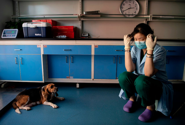 This photo taken on September 2, 2019 shows a laboratory technician sitting with a surrogate mother dog at the Chinese company Sinogene, a pet cloning outfit which has cloned more than 40 pet dogs since 2017, in Beijing. To clone a dog costs a hefty 380,000 yuan (53,000 USD) and 250,000 yuan (35,000 USD) for a cat. (Photo by AFP Photo/China Stringer Network)
