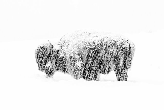 Black and white winner: Snow Exposure by Max Waugh, US. In a winter whiteout in Yellowstone national park, a lone American bison stands weathering the silent snow storm. (Photo by Max Waugh/2019 Wildlife Photographer of the Year)