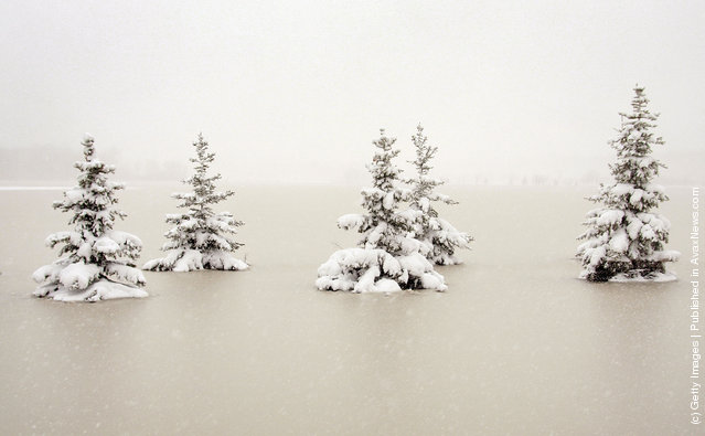 Snow-covered pine trees sit in flood water