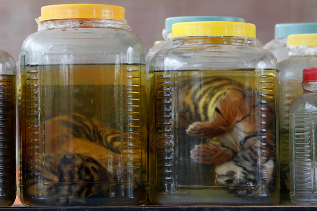 Tiger cub carcasses are seen in jars containing liquid as officials continue moving live tigers from the controversial Tiger Temple, in Kanchanaburi province, west of Bangkok, Thailand, June 3, 2016. (Photo by Chaiwat Subprasom/Reuters)