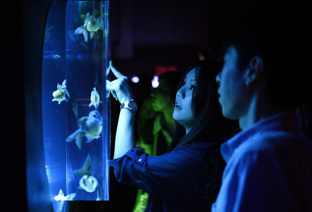 A young woman looks at goldfish swimming in a fish tank at the Art Aquarium exhibition in Tokyo, Japan, 28 July 2015. Thousands of goldfish are on display at the art exhibition produced by Art Aquarium artist Hidetomo Kimura until 23 September. (Photo by Franck Robichon/EPA)