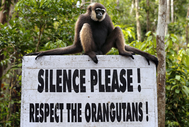 A gibbon sits on a sign aimed at tourists telling them to be quiet as they approach a feeding platform where wild orangutans are fed to supplement the forest food at Camp Leakey in Tanjung Puting National Park, in Kalimantan (Indonesian Borneo), Indonesia, September 3, 2013. (Photo by Barbara Walton/EPA)