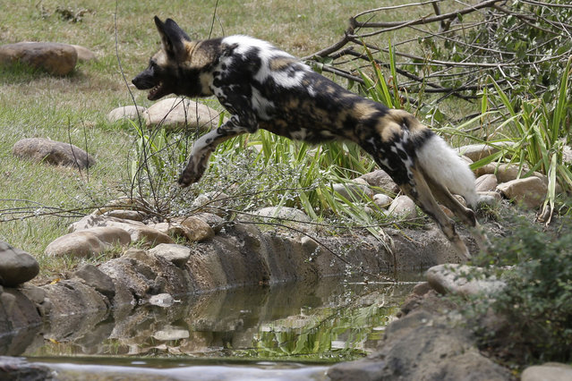 An African painted dog leaps over water in the new Painted Dog Valley exhibit just opened to the public, Monday, June 30, 2014, at the Cincinnati Zoo in Cincinnati. There are only about 3,000 dogs in Tanzania, Kenya, Zimbabwe, Botswana, and South Africa combined, making them one of the rarest species in Africa. (Photo by Al Behrman/AP Photo)