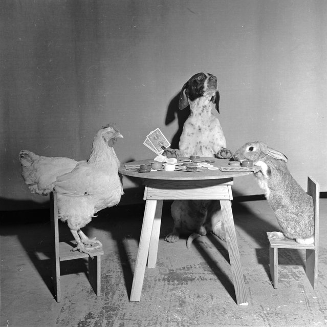 1956: A hen, a dog and a rabbit playing cards