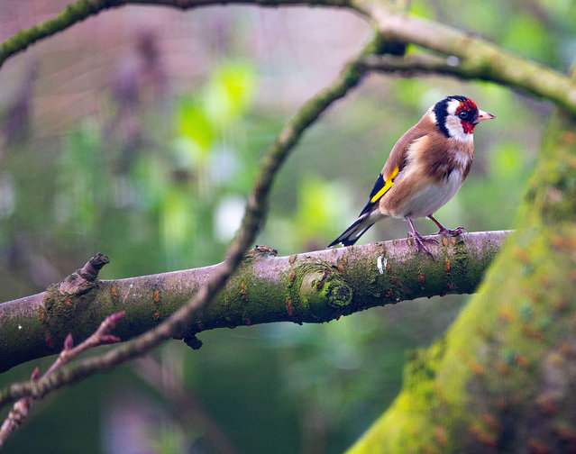 A goldfinch in a cherry tree in Cheshire, England. (Photo by Idp Wildlife Collection/Alamy Stock Photo)