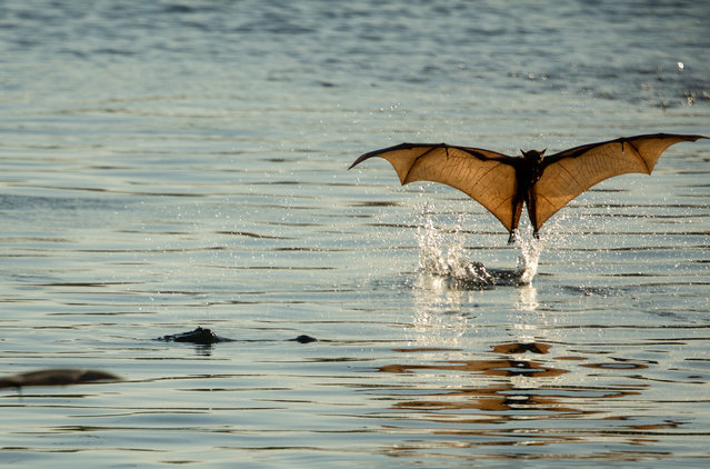 A little red flying fox dips a toe in a lake at the mouth of Katherine gorge in the Northern Territory, Nitmiluk national park, Australia on September 20, 2017. (Photo by Glenn Campbell/AAP)
