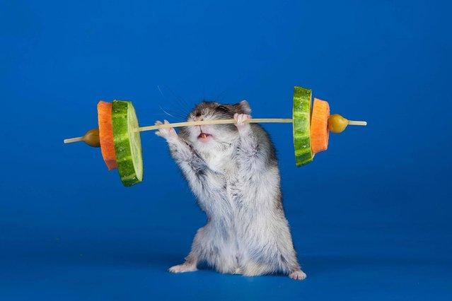 Hardcore hamster. (Photo by Svetlana Valyiskaya/Mercury)